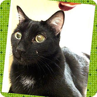 Domestic Shorthair Cat for adoption in Arcadia, California - Shadow