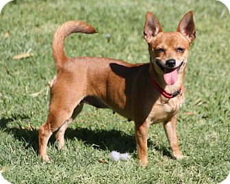 Chihuahua/Terrier (Unknown Type, Small) Mix Dog for adoption in Edmonton, Alberta - Kimmie