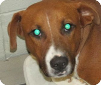 Hound (Unknown Type) Mix Dog for adoption in Aiken, South Carolina - CHAUCER