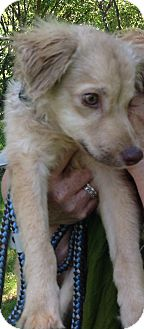 Spaniel (Unknown Type) Mix Puppy for adoption in Palatine, Illinois - Cooper