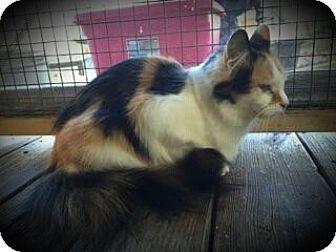 Calico Cat for adoption in Proctorville, Ohio, Ohio - Hailey aka Blossom