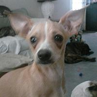 Adopt A Pet :: Rambo - Inverness, FL