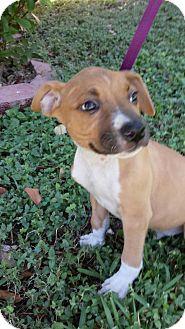 Boxer/Pointer Mix Puppy for adoption in Olympia, Washington - Quinn