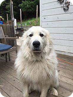 Great Pyrenees Dog for adoption in Santa Cruz, California - Bear