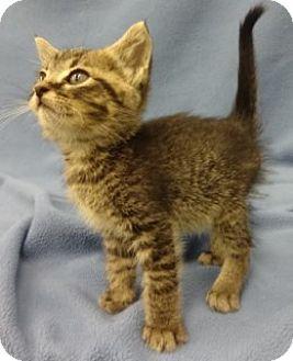 Domestic Shorthair Kitten for adoption in Olive Branch, Mississippi - Leo
