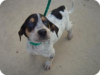 Treeing Walker Coonhound Mix Puppy for adoption in Texarkana, Texas - No CP5 ADOPTED CT