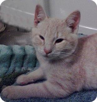 Domestic Shorthair Cat for adoption in Vacaville, California - Morgan