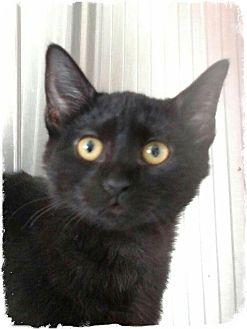 Domestic Mediumhair Kitten for adoption in Pueblo West, Colorado - Kevin