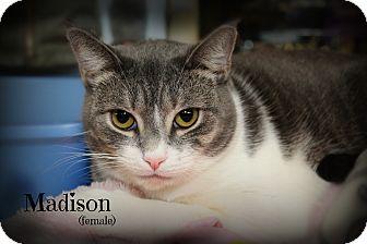 Domestic Shorthair Cat for adoption in Springfield, Pennsylvania - Madison