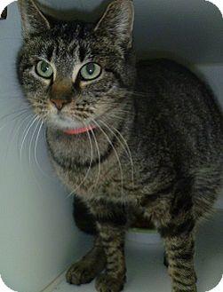 Domestic Shorthair Cat for adoption in Hamburg, New York - Little Sabre