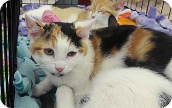 Domestic Shorthair Kitten for adoption in Alamo, California - Vixen