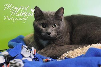 Domestic Shorthair Cat for adoption in Topeka, Kansas - Lancelot