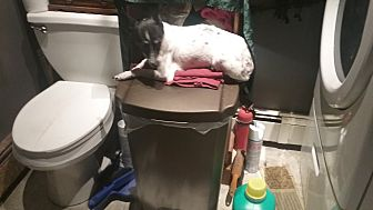 Rat Terrier/Chihuahua Mix Dog for adoption in Benton, Pennsylvania - Oreo