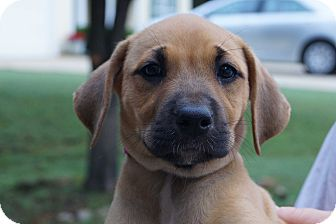 Boxer/Dachshund Mix Puppy for adoption in West Nyack, New York - Angel