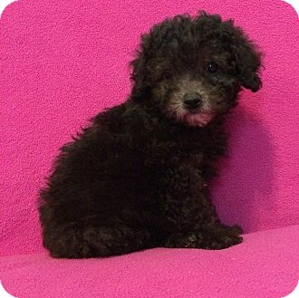 Poodle (Miniature) Mix Puppy for adoption in Kittery, Maine - Lexie