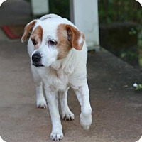Jack Russell Terrier Mix Dog for adoption in Rowayton, Connecticut - Sweater Gentle Cat-loving Girl