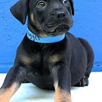Adopt A Pet :: Nugget - Waldorf, MD