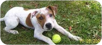 American Bulldog/American Staffordshire Terrier Mix Puppy for adoption in Evansville, Indiana - Chloe