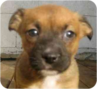 Boxer/Shepherd (Unknown Type) Mix Puppy for adoption in Chicago, Illinois - Charlie*ADOPTED!*