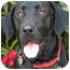 Photo 1 - Labrador Retriever Dog for adoption in Los Angeles, California - Venus von Labstein