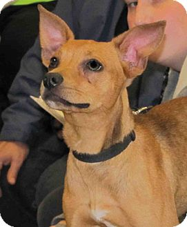 German Pinscher Mix Puppy for adoption in Loudonville, New York - Clover