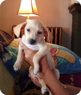 Dachshund/Chihuahua Mix Puppy for adoption in ST LOUIS, Missouri - DOLLY