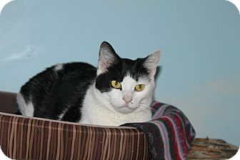 Domestic Shorthair Cat for adoption in North Branford, Connecticut - Martini