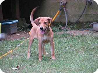 Labrador Retriever/Hound (Unknown Type) Mix Puppy for adoption in Bedminster, New Jersey - Huckleberry Hound