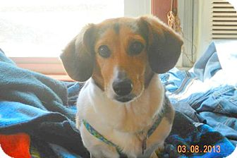 Corgi/Beagle Mix Dog for adoption in Bedford, Virginia - Piper