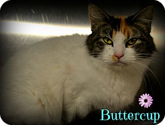 Domestic Shorthair Cat for adoption in Beaumont, Texas - Buttercup
