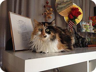 Domestic Mediumhair Cat for adoption in Alexandria, Virginia - Paisley