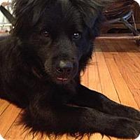 Adopt A Pet :: KING - Shirley, NY