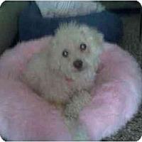 Adopt A Pet :: Bo Peep - Fort Lauderdale, FL