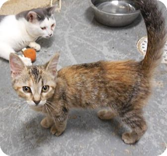 Domestic Shorthair Kitten for adoption in Grinnell, Iowa - Callie