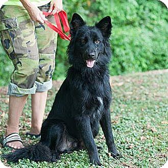 German Shepherd Dog Mix Dog for adoption in New Martinsville, West Virginia - Bear Bear