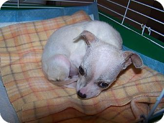 Chihuahua Mix Puppy for adoption in Old Fort, North Carolina - Baby