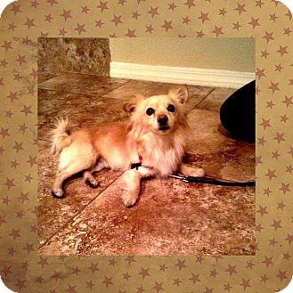 Pomeranian/Papillon Mix Dog for adoption in Phoenix, Arizona - Loki