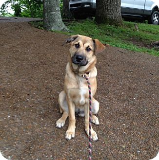 Anatolian Shepherd/Shepherd (Unknown Type) Mix Dog for adoption in Baxter, Tennessee - Gypsy