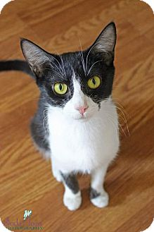 Domestic Shorthair Cat for adoption in Charlotte, North Carolina - Aurora