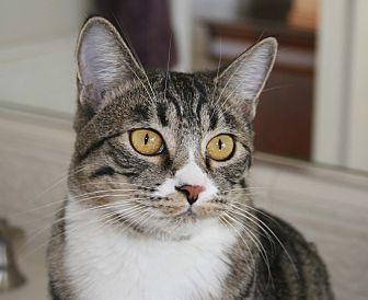 Domestic Shorthair Cat for adoption in Walnut Creek, California - Carly