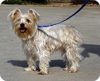 Yorkie, Yorkshire Terrier Mix Dog for adoption in Lathrop, California - Sassy