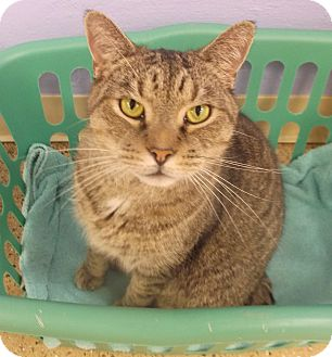 Domestic Shorthair Cat for adoption in Circleville, Ohio - Cooney