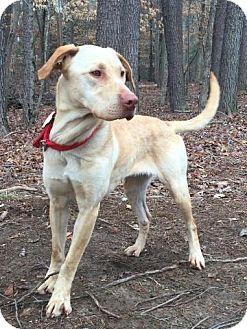 Labrador Retriever Mix Dog for adoption in Washington, D.C. - Aubrey