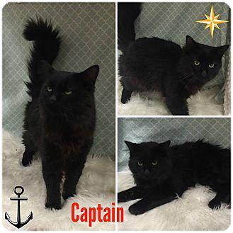 Domestic Mediumhair Cat for adoption in Joliet, Illinois - Captain