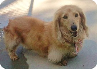 Dachshund Dog for adoption in Burgaw, North Carolina - Gretchen