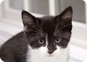 Domestic Shorthair Kitten for adoption in Bristol, Connecticut - Milly