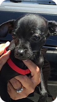 Chihuahua/Dachshund Mix Puppy for adoption in Shallotte, North Carolina - Doogie
