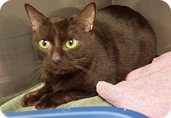 Domestic Shorthair Cat for adoption in Medfield, Massachusetts - Nutmeg