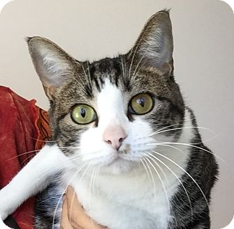 American Shorthair Cat for adoption in Friendswood, Texas - Annie