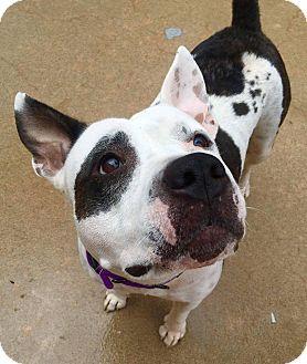 Pit Bull Terrier/Bull Terrier Mix Dog for adoption in Wichita, Kansas - Wednesday